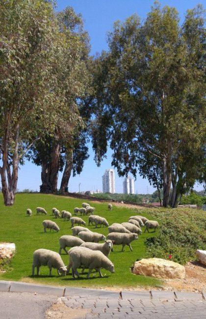 כמה כבשים יש בעיר שלכם?
